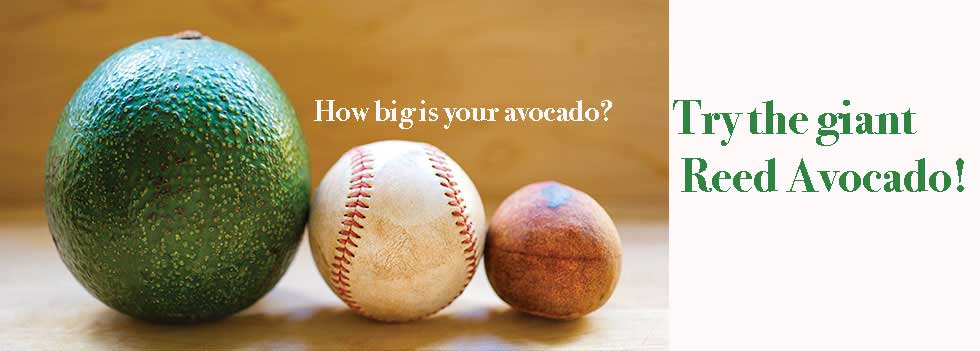 How big is your Avocado - The Giant Reed Avocado