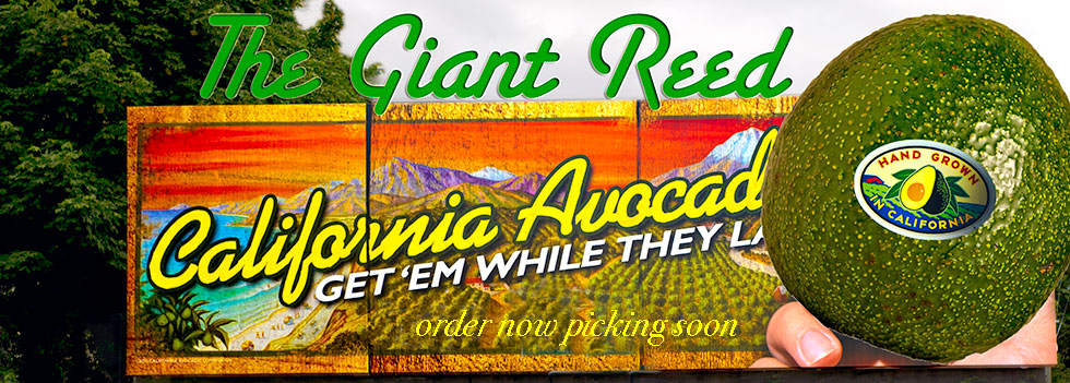 Giant Reed Avocados