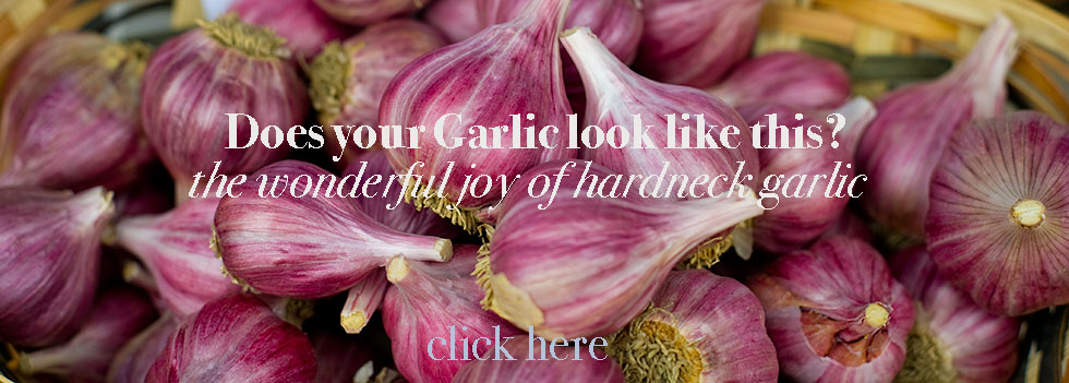 Organic Hardneck Garlic from Washington