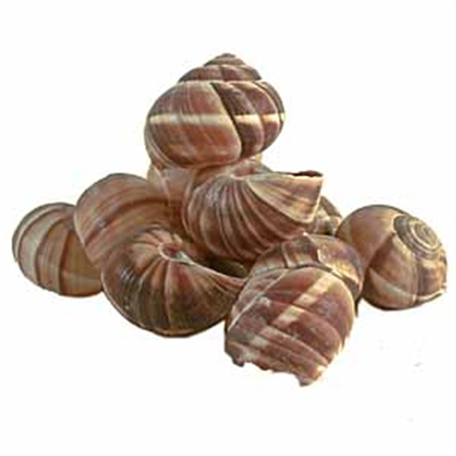 Escargot Shells