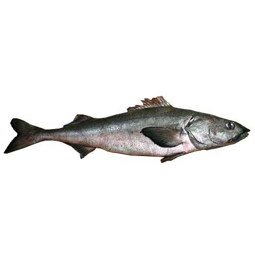 Fresh Sablefish (Black Cod) - 5 pounds