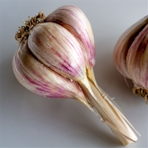 Music Organic Garlic