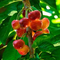 Fresh Rainier Cherries - 4 pound box