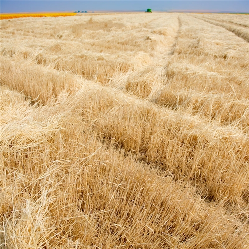 Amber Waves of Grain - Article