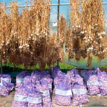 Organic Garlic Sampler Grab Bag - 1/2 to 3/4 pound bag