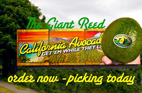 Herman Ranch - Royal Reed Avocados