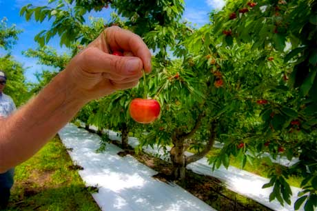 shop now for rainier cherries