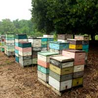 beehives in the macadmia nut orchard in hawaii