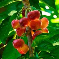 Fresh Rainier Cherries