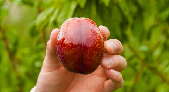 organic plums and pluots